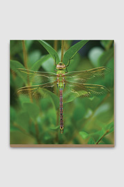 Dragonfly Plywood Print