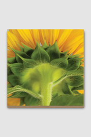 Sunflower Plywood Print